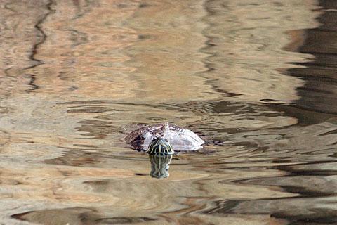 ミシシッピーアカミミガメ