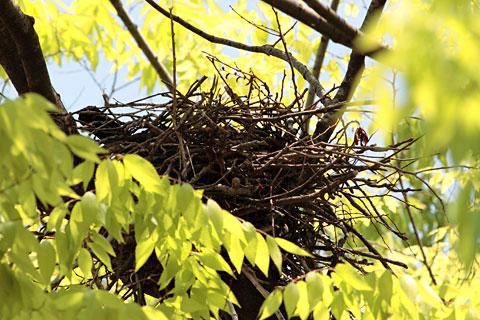 ハシボソガラスの巣