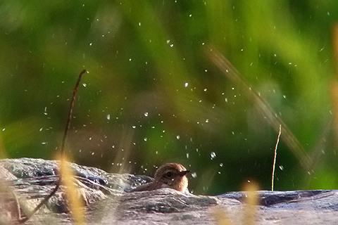 ノビタキ水浴び