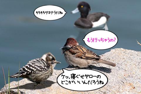 スズメとキンクロハジロ