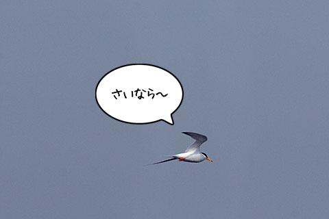 コアジサシ