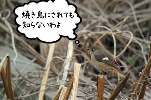 ジョウビタキ♀
