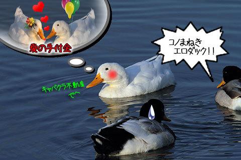 20100126duck.jpg